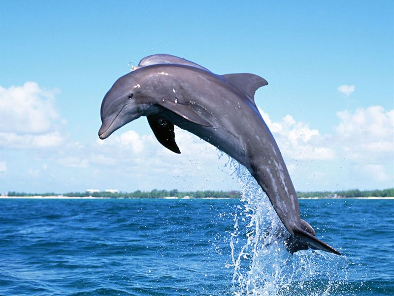 delfin_suseni