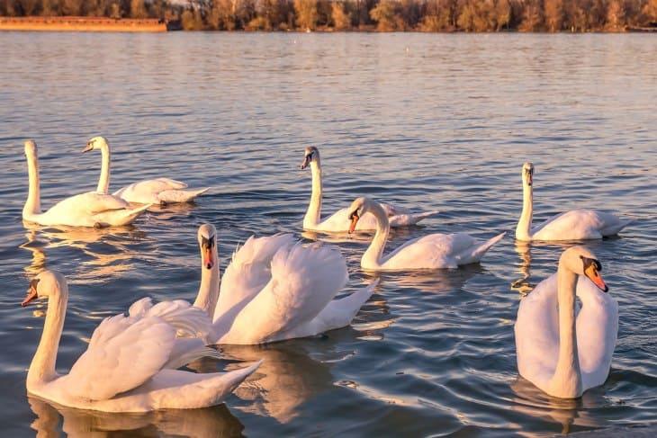 Labudovi na Dunavu