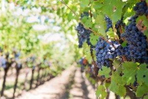 Red u vinogradu sa grožđem u prvom planu