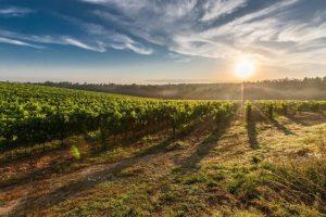 Suncem obasjana polja vinograda