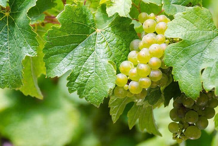 Belo grožđe u vinogradu